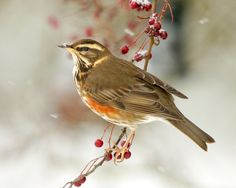redwing on berries - Google Search