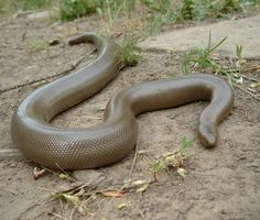Rubber Boa, native to Vancouver, Washington