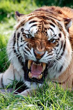 """Tiger: """"DON'T Bother Me Now!"""""""