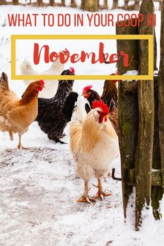 These are great tips for backyard chicken owners! Learn what to do in your chicken coop in November to prepare your coop for winter! Backyard Coop, Raising Backyard Chickens, Backyard Poultry, Baby Chickens, Backyard Chicken Coops, Backyard Farming, Backyard Birds, Best Chicken Coop, Chicken Feed