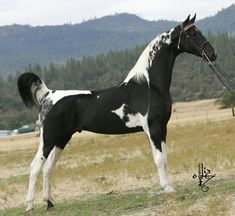 Spotz Sensation - Saddlebred - Show Horse Gallery, A Different Horse is Featured Every Day