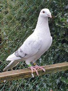 Pigeon Bird, Dove Pigeon, Pigeon Pictures, Pigeon Breeds, Homing Pigeons, Best Stocks, Animal Photography, Racing, Birds
