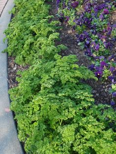 In this landscape, parsley is used as an edging to border a garden bed. Bonnie Plants How To Grow Edible Plants, Edible Garden, Fruit Garden, Parsley Plant, Growing Herbs, Parsley Growing, Medicinal Herbs, Plant Decor, Garden Beds
