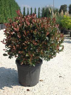 Het blad van de glansmispel (Photinia) heeft vanaf de herfst een prachtige warmrode tint