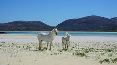 Ponies on Luskentyre Beach on the Isle of Harris  photo @michaeljames115  #Luskentyre #Harris #OuterHebrides #Scotland #VisitScotland #ScotSpirit #beach #horses #ponies