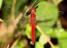 Red Dradongfly