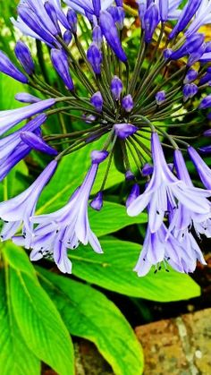 Find out how to grow and care for Agapanthus, also known as African Lily, in your garden Exotic Flowers, Amazing Flowers, Beautiful Roses, Purple Flowers, Beautiful Flowers, Orquideas Cymbidium, African Lily, Clematis, Garden Plants