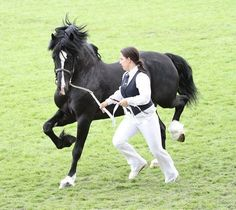 """OWNERS DESCRIPTION """"Here is my sed d stallion """"foryd black knight"""" at the royal welsh show, hes since been broken and going to be out under saddle"""""""