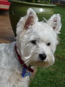 Picture of Snowie, a female West Highland White Terrier