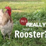 Do I HAVE to Have a Rooster?