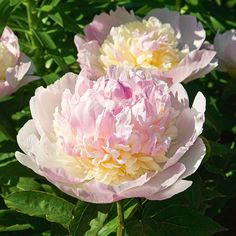 PAEONIA RASPBERRY SUNDAE - Cream petals suffused with a delicious raspberry shade that deepens toward the center. Very double, with a soft, sweet fragrance. Full Sun Blooms In: June Planting Bulbs, Planting Flowers, Flowers Garden, Peony Flower, Flower Pots, Cactus Flower, Paeonia Lactiflora, Sweet Woodruff, Growing Raspberries