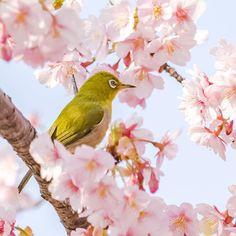 川津桜にメジロ #メジロ#whiteeye #鳥#bird#野鳥#Wildbird#birdwatching #小鳥#pocket_birds #桜#川津桜#cherryblossom #花#flower#flowers #beautiful #風景#自然#景色#picture#landscape#nature #東京#tokyo#日本#japan#love#loves_nippon #写真好きな人と繋がりたい #一眼レフ