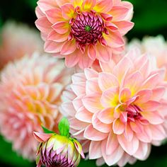 50 dahlias to drool over | 'Jitterbug' | Sunset.com