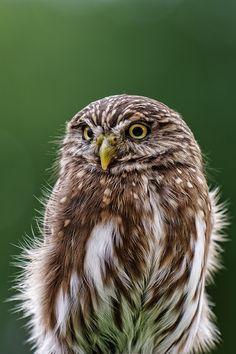 Eurasian Pygmy Owl,by=Joerg-Lingnau