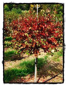 Winged Burning Bush Tree form   Horticulturalness   Pinterest ...