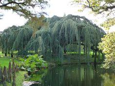 Le cèdre bleu pleureur remarquable du Parc de la Vallée-aux-Loups  http://www.pariscotejardin.fr/2013/10/le-cedre-bleu-pleureur-remarquable-du-parc-de-la-vallee-aux-loups/
