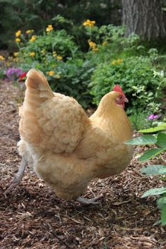 sweet lil' Buff Orpington
