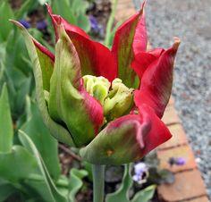 Blue Parrot Tulip | Parrot Tulip | Flickr - Photo Sharing!