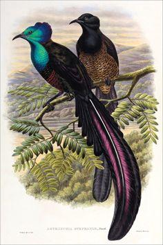Birds of paradise 54