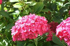 ENTRE PLANTAS Y MACETAS nos cuenta cómo cuida sus hortensias para que luzcan así de espectaculares.