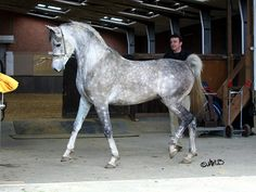 Graceful Persian Asil horse