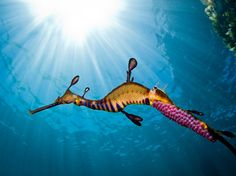 The camouflage that weedy sea dragons use to hide in the temperate marine vegetation they derive their name from is so successful that once they reach adulthood they have no natural predators. Unfortunately they are still at risk due to habitat destruction. The males of the species carry the bright pink, fertilized eggs underneath their tails for about two months before the fully formed young hatch and are left to fend for themselves.