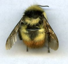 Squeeeeeeee! A fluffy little bee!