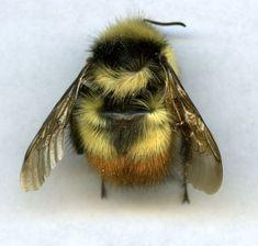 bee so fluff