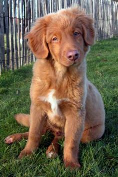 Nova Scotia Duck Tolling Retriever Puppy - Love these dogs <3