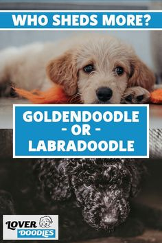 Every doodle will have a different coat type! Some will be more like a poodle while others will take on a lab or golden retriever. Figure out which coat type your puppy could have! #Goldendoodle #Labradoodle #PoodleMix #NonSheddingDogs #NoShed Cavapoo, Goldendoodle, Doodle Dog Breeds, Non Shedding Dogs, Types Of Coats, Poodle Mix, Your Dog, Doodles, Lovers