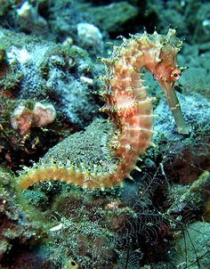 Unlike most sea creatures, sea horses are monogamous for life and are the only species on earth in which the male carry the unborn young. Description from pinterest.com. I searched for this on bing.com/images