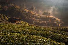 Morning Tea Plant