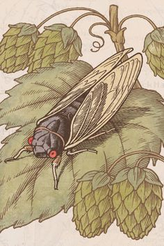 Yards Brewing's Cicada Indigenous Ale beer packaging designed by Paragraph Inc.