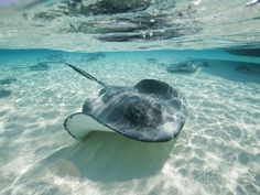 Southern Stingrays Swimming at Stingray City Photographic Print by ...