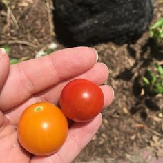 """""""It's the most wonderful time of the year... first tomato harvest of the season 🍅🍅 these are lizzano and sun gold tomatoes from #botanicalinterests #garden #🍅 #homegrown #vegetablegarden #backyardveggiegarden #growyourownfood #veggies"""" - aveggiefullife (Instagram)"""