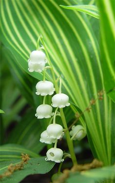 lily of the valley (May flower)