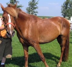 Red is an adoptable Grade Horse in Cedar Rapids, IA. Red is a 10 year old gelding that was rescued fall 2010. He has been under IERAL care since January 2011. Red has made great improvement with trust...