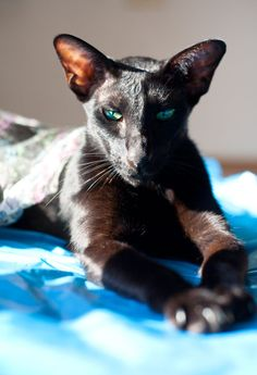 Oriental Shorthair Cat is a breed of domestic cat that is closely related to the Siamese. It maintains the modern Siamese head and body type but appears in a wide range of coat colors and patterns. I Love Cats, Crazy Cats, Cool Cats, Warrior Cats, Pretty Cats, Beautiful Cats, Oriental Shorthair Kittens, Chat Oriental, Oriental Cat Breeds