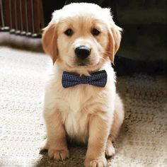 Golden Retriever puppy with bow tie Super Cute Puppies, Cute Baby Dogs, Cute Little Puppies, Cute Dogs And Puppies, Cute Baby Animals, I Love Dogs, Animals And Pets, Funny Animals, Doggies