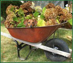 doxie in a wheelbarrow #cute #dachshund