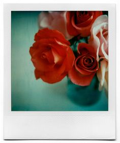 polaroid rose