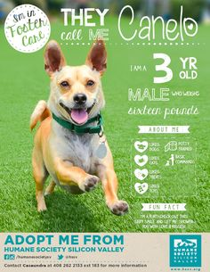 CHIHUAHUA MIX DOG AVAILABLE FOR ADOPTION | Loki A#: 113679 - Humane Society Silicon Valley - Milpitas, California
