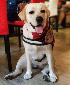 Labrador Retrievers, Labradors, Happy Dogs, Cute Baby Animals, Labs, Cute Babies, Kpop, Yellow, Labrador Retriever