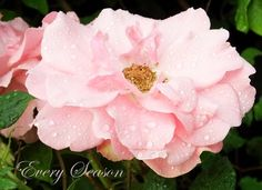 Lovely rose.