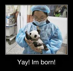 Top Demotivational - panda baby
