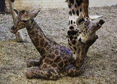Baby giraffe Uzuri geboren in Dierenpark Emmen.