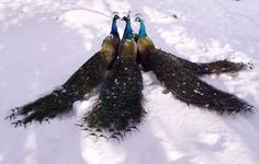 peacocks in the snow..