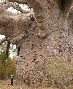Baobab, probablemente el mayor del mundo. Originario de la sabana.