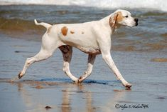 "See our website for more details on ""Pointer dogs"". It is actually a superb area for more information. Pointer Puppies, Pointer Dog, Tiny Puppies, Akc Breeds, Puppy Breeds, English Pointer, Purebred Dogs, Dog Runs, Dog Costumes"