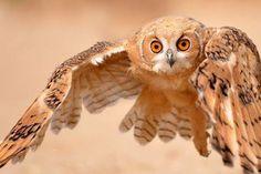 Pharoah Eagle Owl